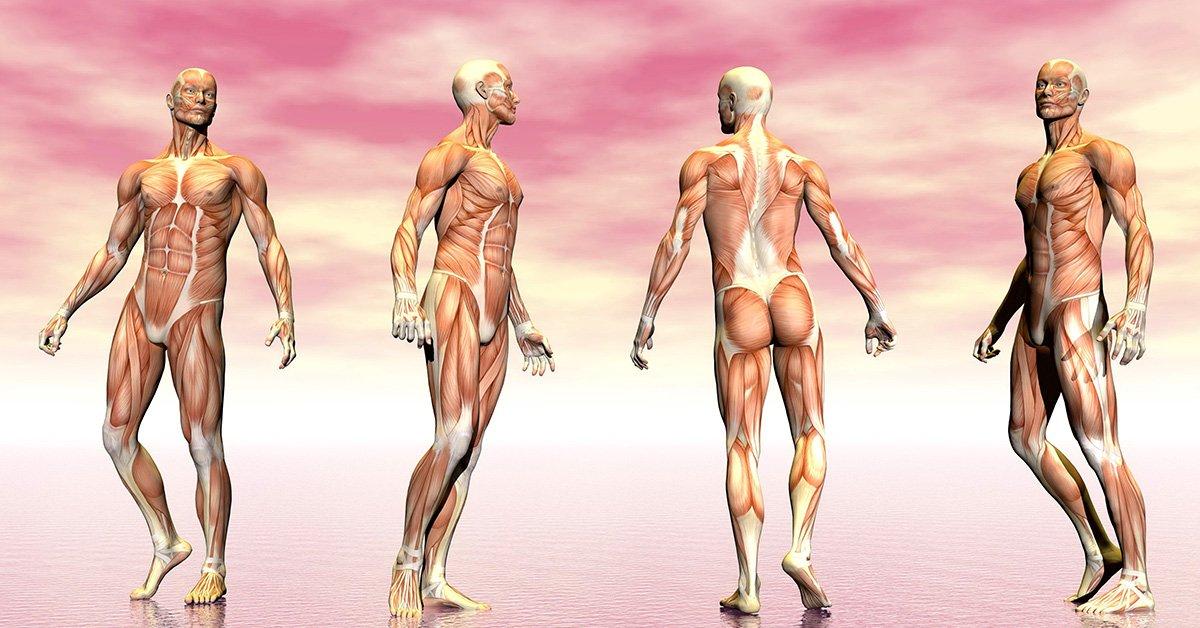 O Músculo E Suas Estruturas
